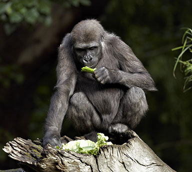 A primate eating lettuce