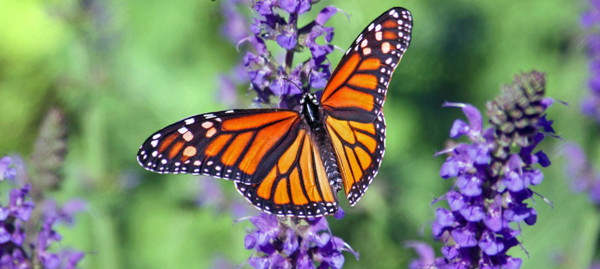 A monarch butterfly on purple flower