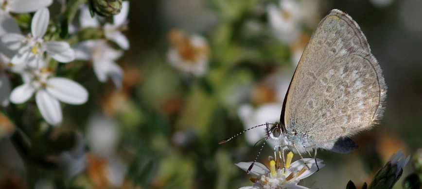 A butterfly on a native flower